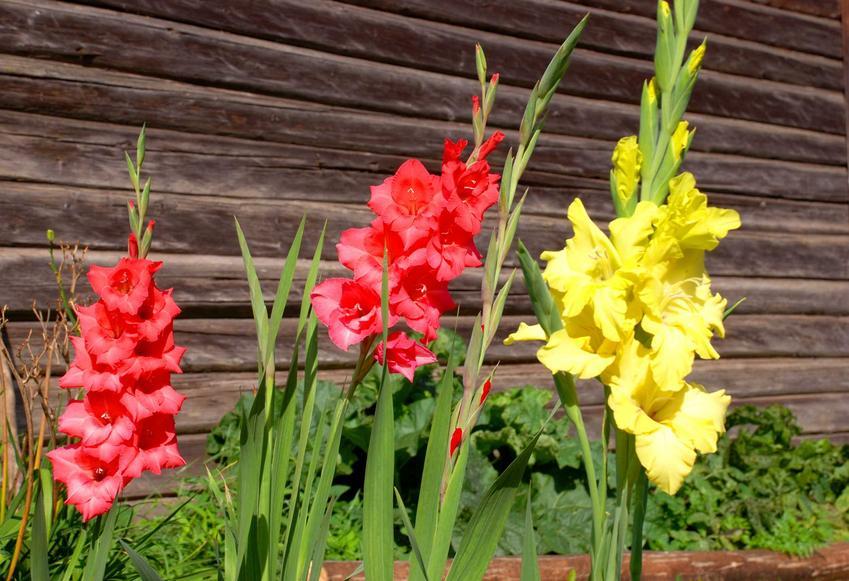 Mieczyki czy też gladiole w czasie kwitnienia oraz porady kiedy sadzić mieczyki, warunki uprawy, wymagania, stanowisko oraz pielegnacja