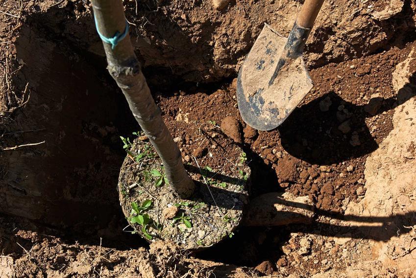 Sadzenie drzew w ogrodzie, a także sadzenie drzewek owocowych oraz porady kiedy sadzić drzewka owocowe