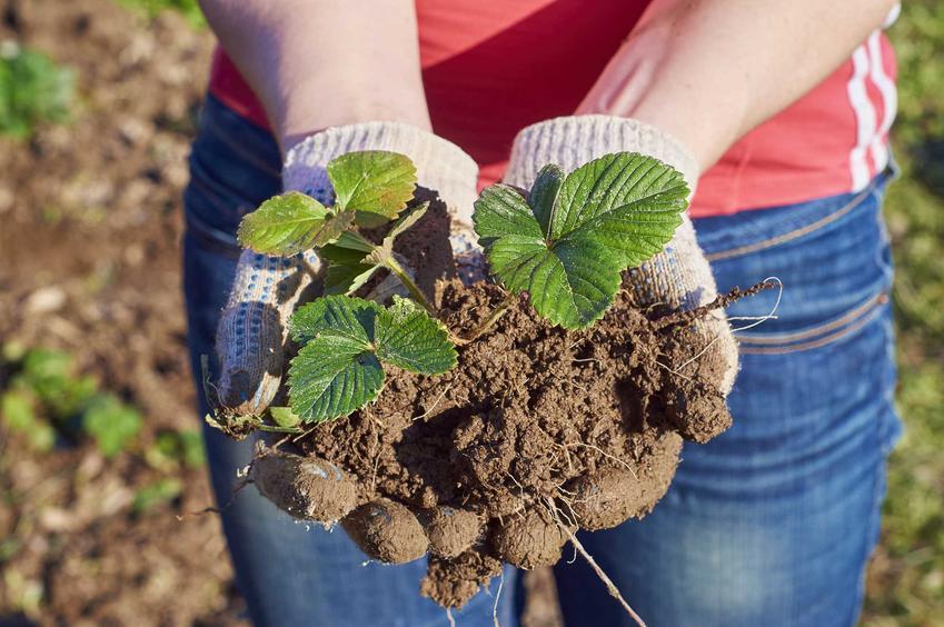 Sadzonki truskawek trzymane w dłoniach oraz ich sprzedaż, a także najlepsze odmiany truskawek do posadzenia w ogrodzie
