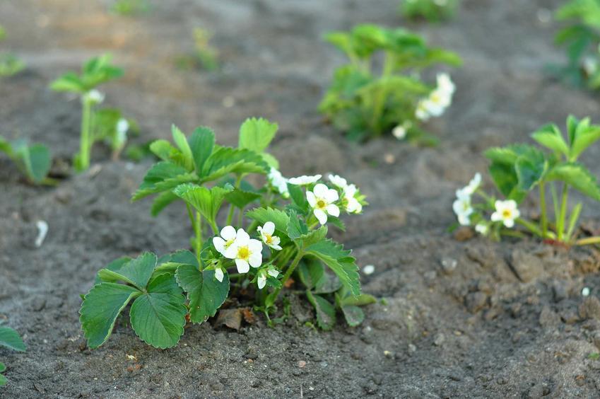 Sadzonki truskawek i najlepsze odmiany truskawek oraz ich sprzedaż i porady przy zakupie, ceny sadzonek