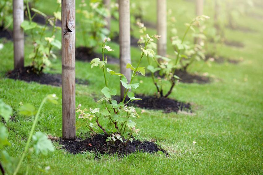 Sadzonki winogron posadzone przy palikach oraz ich cena, a także porady gdzie kupić sadzonki winorośli