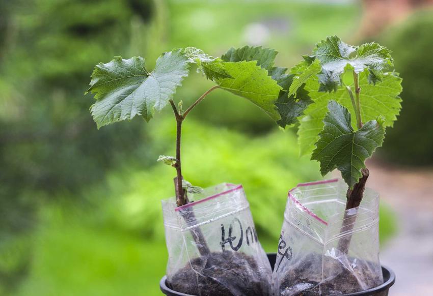Sadzonki winogron i sadzonki winorośli oraz ich cena, a także porady gdzie kupić sadzonki winogron i innych owoców