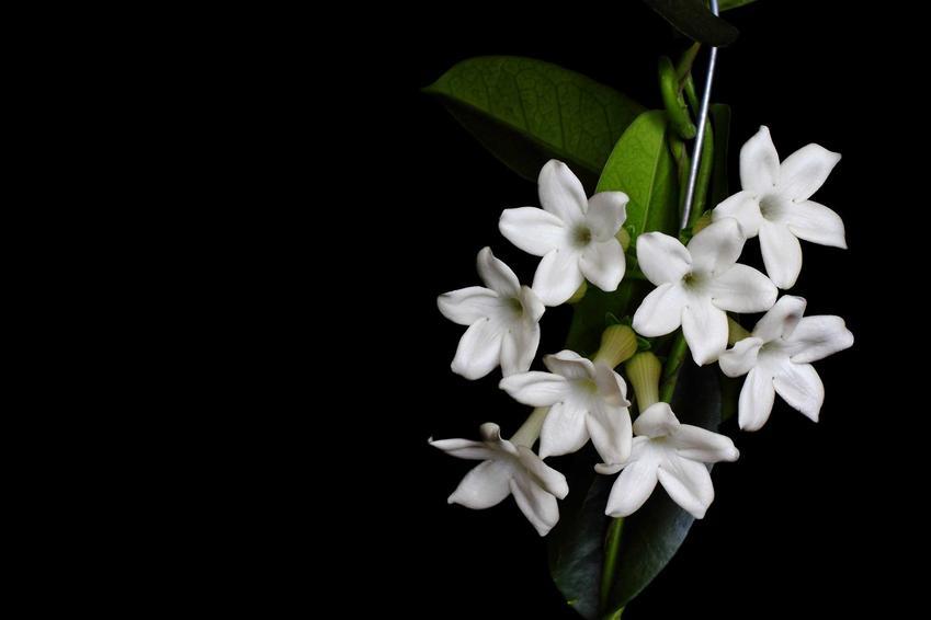 Kwiat stefanotis bukietowy na czarrnym tle oraz jego uprawa i pielęgnacja w doniczkach krok po kroku
