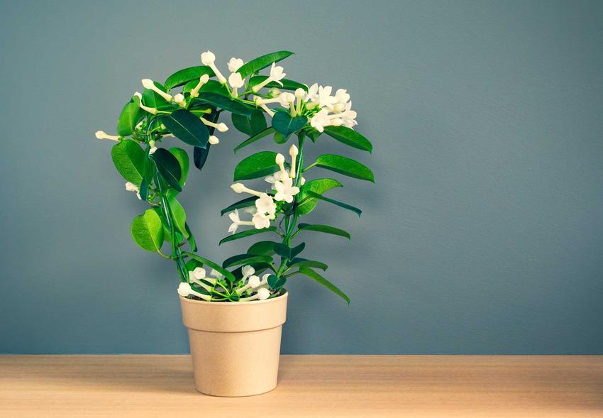 Kwiat doniczkowy stefanotis bukietowy w czasie kwitnienia oraz jego uprawa i porady, jak pielęgnować i uprawiać stefanotisa w doniczce