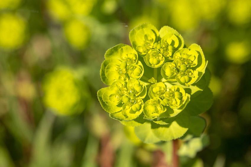 Wilczomlecz obrotny Euphorbia helioscopia czy też wilczomlecz mleczny jako pospolity chwast i jego zwalczanie
