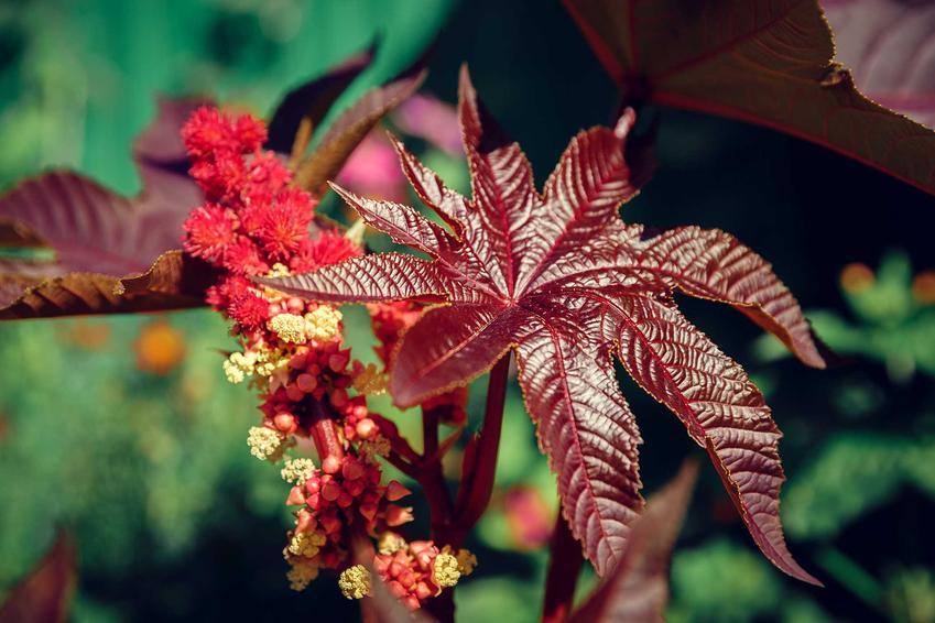 Rącznik pospolity jako trująca roślina oraz jego wymagania, uprawa i pielęgnacja, szkodliwość i możliwe zagrożenie