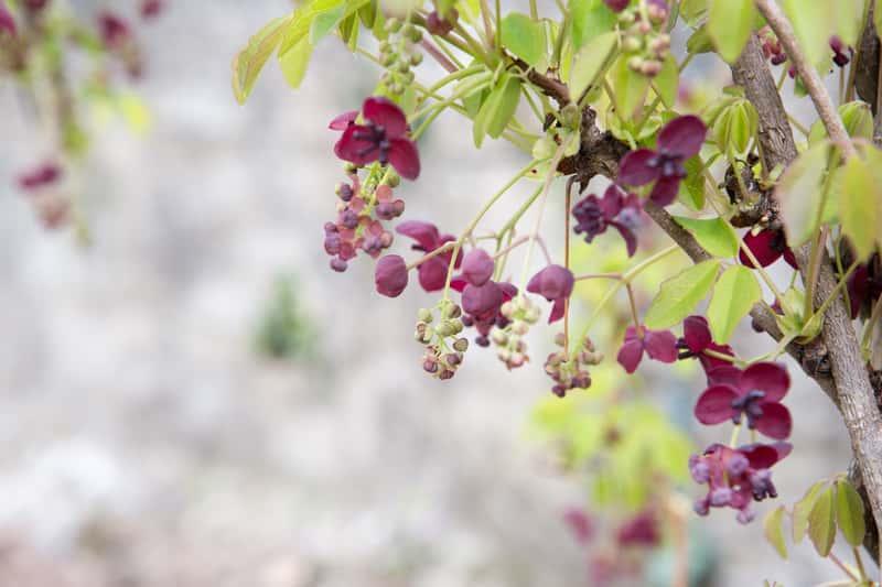 Akebia pięciolistkowa jako pnącza wieloletnie oraz inne rośliny pnące wieloletnie do ogrodu i na balkon