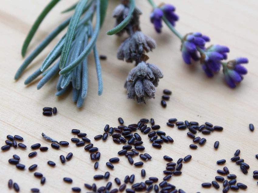 Nasiona i sadzonki lawendy, w tym lawenda wieloletnia, lawenda lekarska czy lawenda wąskolistna oraz jakie nasiona lawendy kupić