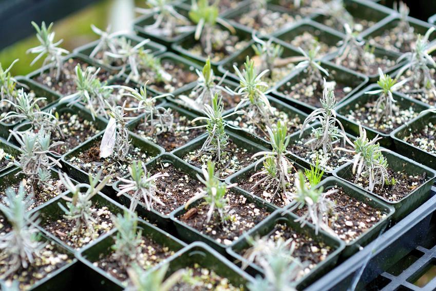 Sadzonki lawendy w doniczkach, w tym lawenda wieloletnia, lawenda lekarska oraz lawenda wąskolistna, zastosowanie i wysiew nasion
