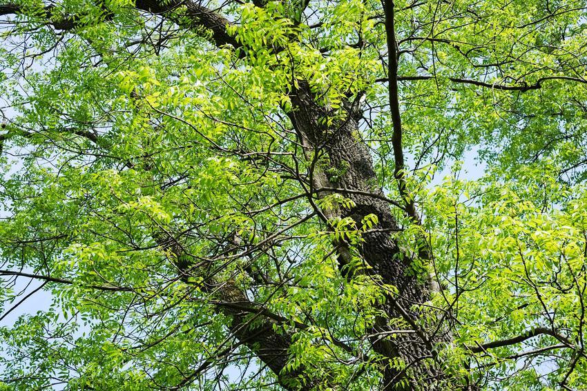 Jesion wyniosły i jesion zwyczajny jako popularne drzewa liściaste oraz uprawa i pielęgnacja drzewa w ogrodzie