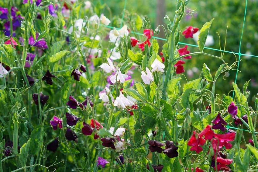 Groszek pachnący w ogrodzie i uprawa groszku pachnącego oraz jego pielęgnacja, sadzenie i podlewanie