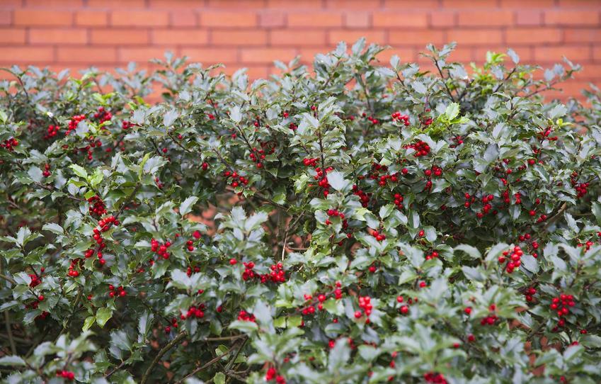 Ostrokrzew kolczasty w ogrodzie oraz jego choroby, wymagania, uprawa, pielęgnacja oraz kwiaty i owoce