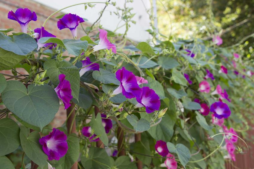 Wilec jako popularne pnącza na balkon, a także bluszcz na balkon i inne rośliny pnące na balkon lub na taras krok po kroku