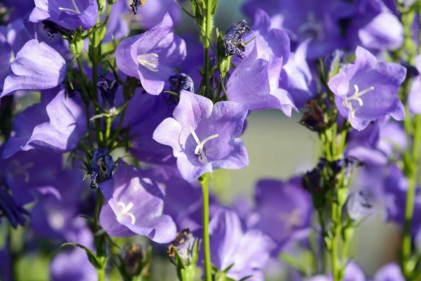 Dzwonek brzoskwiniolistny campanula persicifolia o delikatnych kwiatach w fioletowym kolorze oraz jego odmiany, uprawa i pielęgnacja