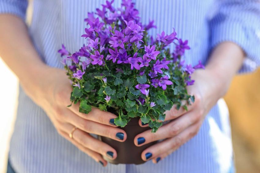 Kwiat campanula w dłoniach kobiety, czyli dzwonek jako popularne kwiaty doniczkowe oraz jego pielęgnacja