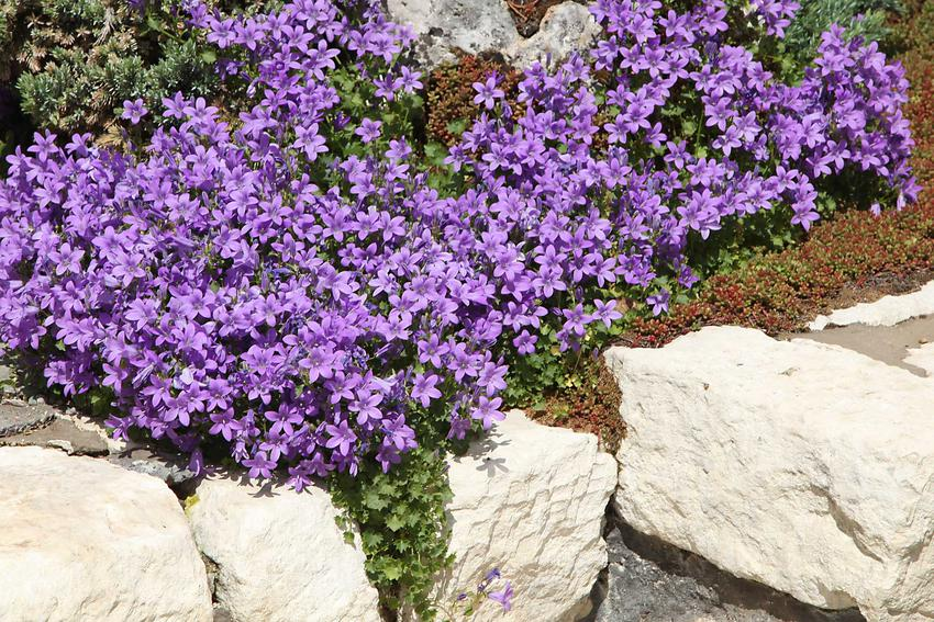 Kwiat campanula, czyli dzwonek jako popularne kwiaty doniczkowe oraz ogrodowe, a także pielęgnacja i uprawa