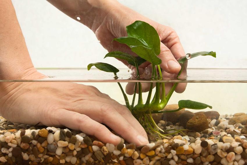 Anubias, na przykład anubias barteri petite w akwarium jako popularne rośliny akwariowe oraz warunki uprawy, pielęgnacji