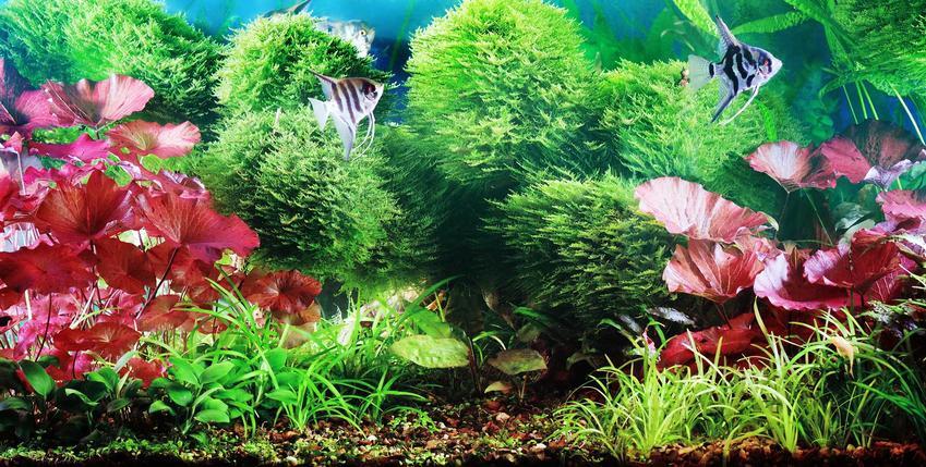 Lotos tygrysi czy też lotos czerwony do akwarium jako popularne rośliny akwariowe krok po kroku, a także uprawa i pielęgnacja