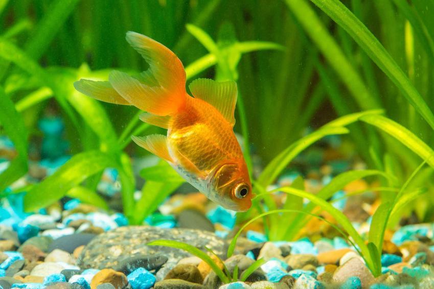 Złota rybka w akwarium oraz nurzaniec spiralny, czyli trawa akwariowa o ciekawym pokroju i wartości dekoracyjnej