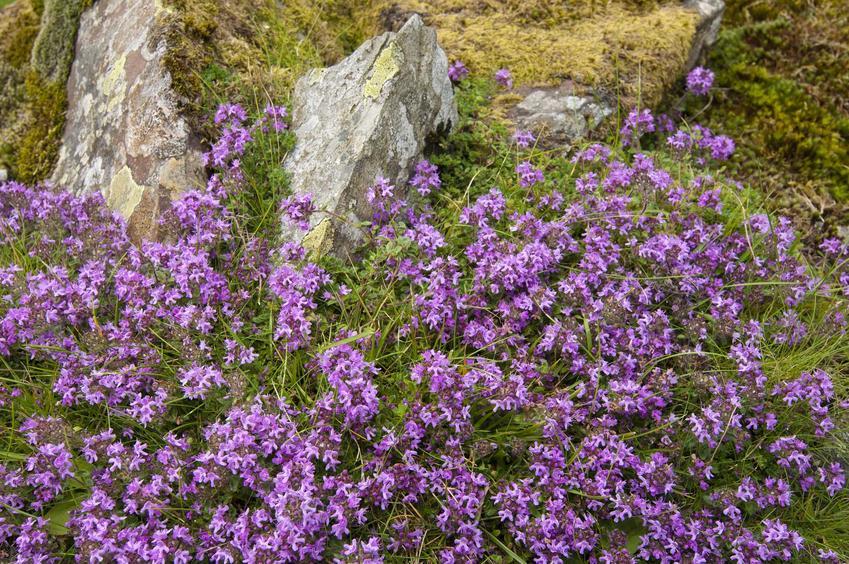 Macierzanka wczesna w ogrodzie oraz jej uprawa, pielęgnacja i wymagania macierzanki wczesnej, sadzenie i podlewanie