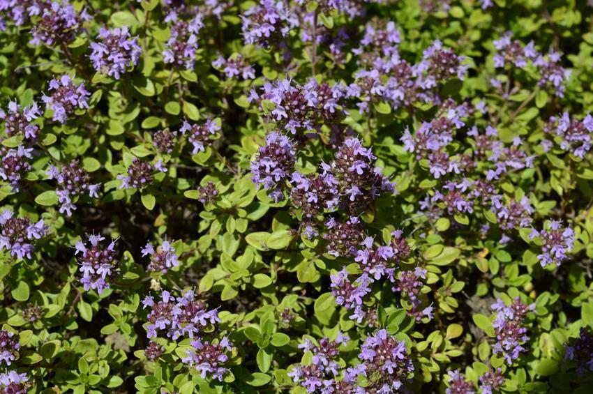 Macierzanka zwyczajna w czasie kwitnienia - warunki uprawy, wymagania oraz właściwości lecznicze izastosowanie macierzanki
