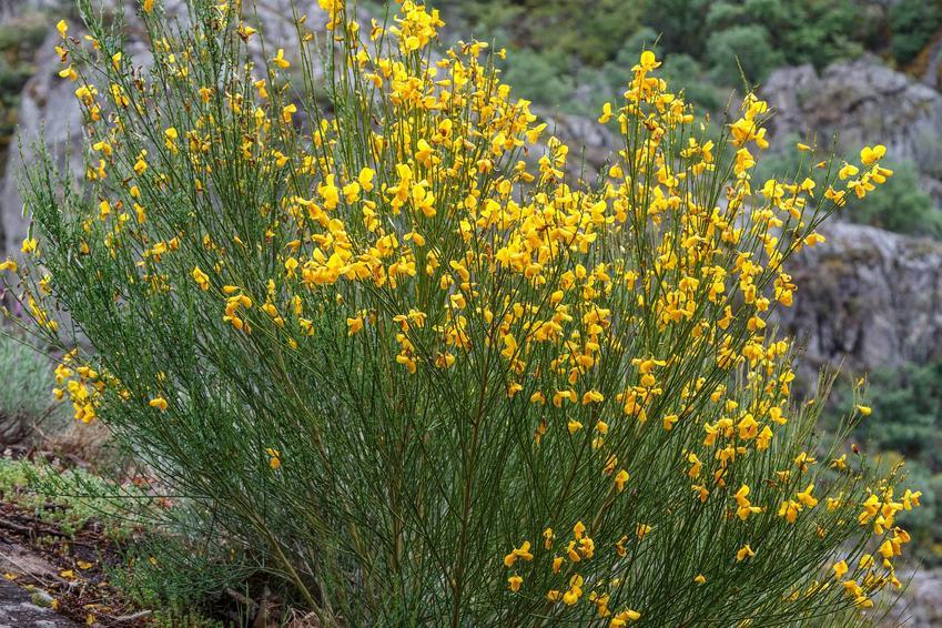Krzew żarnowca miotlastego w czasie kwitnienia jako krzew dekoracyjny i roślina ozdobna oraz warunki uprawy i pielęgnacji