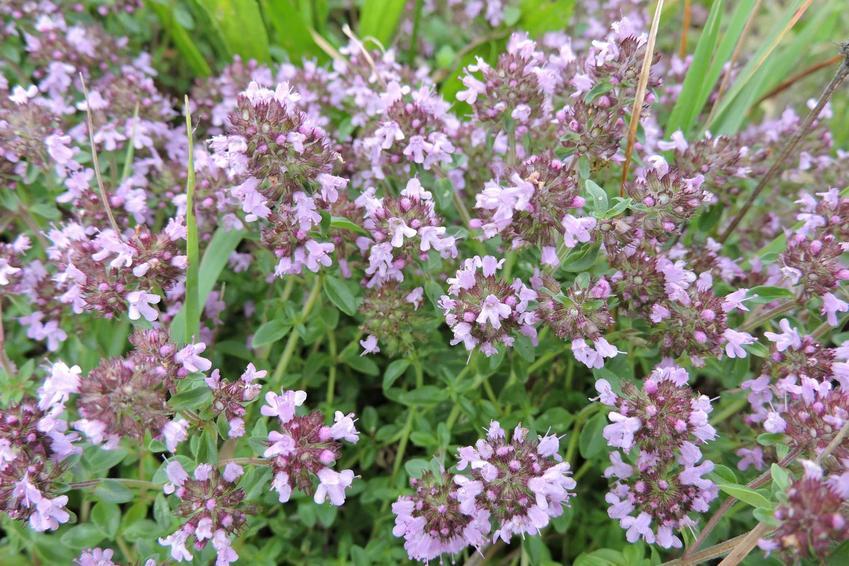 Kwitnące ziele macierzanki, występowanie, wymagania, sadzenie, uprawa oraz zastosowanie macierzanki i właściwości lecznicze ziela