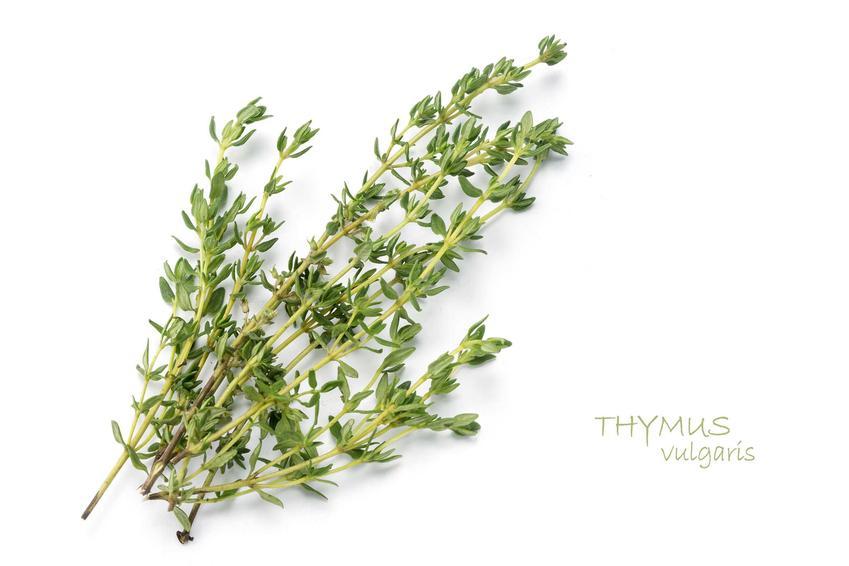Gałązki ziela macierzank, występowanie, wymagania, uprawa, pielęgnacja oraz zastosowanie macierzanki i właściwości lecznicze ziela