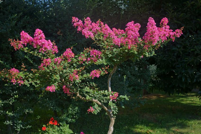 Lagerstremia indyjska z łaciny lagerstroemia indica purpurea, czyli bez południa, jego uprawa i pielęgnacja krok po kroku