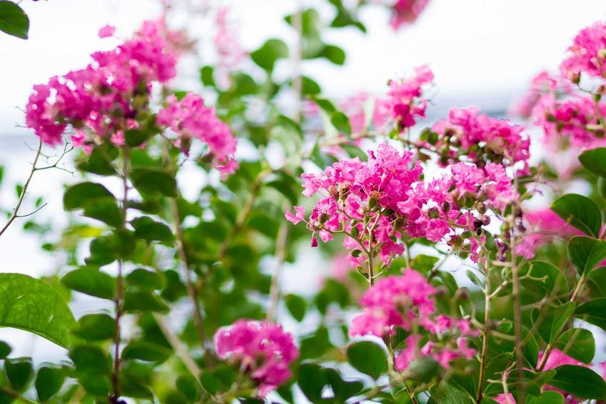 Lagerstremia indyjska lub lagerstroemia indica purpurea, czyli bez południa a także jego uprawa, pielęgnacja i sadzenie