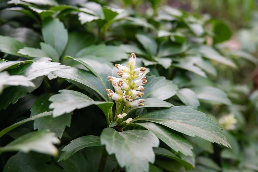 Runianka japońska o ciekawych kwiatach oraz jej uprawa, pielęgnacja, podlewanie, wymagania i sadzenie w ogrodzie