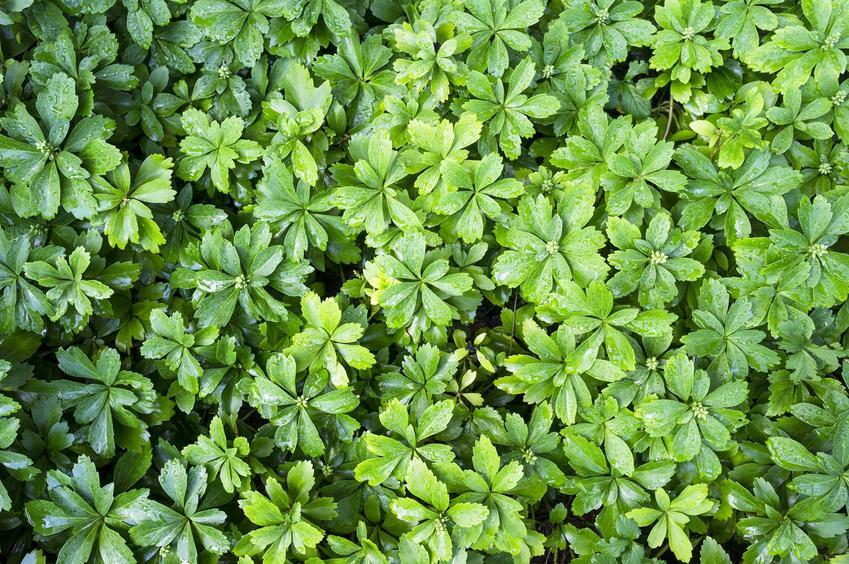 Runianka japońska oraz jej uprawa i pielęgnacja, kwiaty, sadzenie, a także wymagania siedliskowe w ogordzie