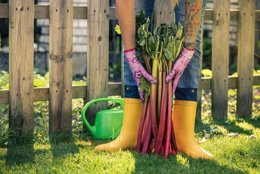 Ścięty rabarbar w ogrodzie oraz odmiany, warunki uprawy, właściwości i zastosowanie rabarbaru -  porady, jak uprawiać rabarbar w Polsce