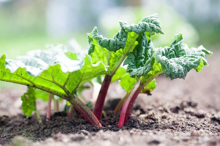 Rabarbar w ogrodzie oraz odmiany, warunki uprawy, pielęgnacja, właściwości i zastosowanie rabarbaru  - porady, jak uprawiać rabarbar w Polsce