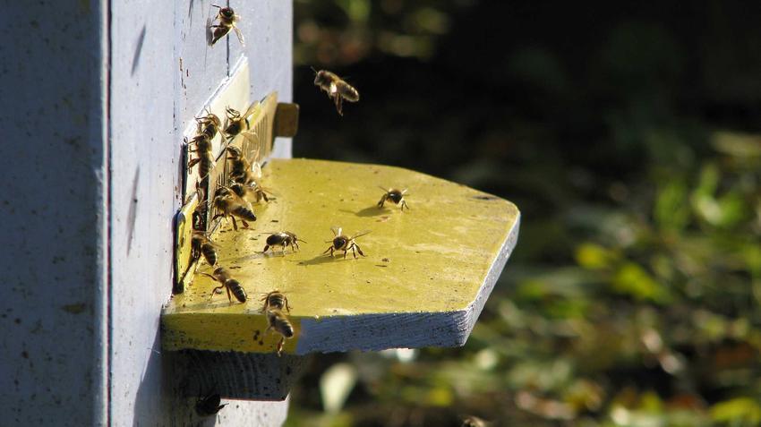 Pszczoły murarki oraz hodowla pszczół murarek w ogrodzie przydomowym, najlepsze porady, wskazówki, cena