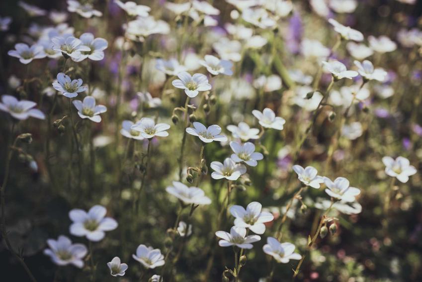 Skalnica gronkowa, czyli Saxifraga paniculata w czasie kwitnienia oraz jej uprawa i pielęgnacja na rabatach w ogródku