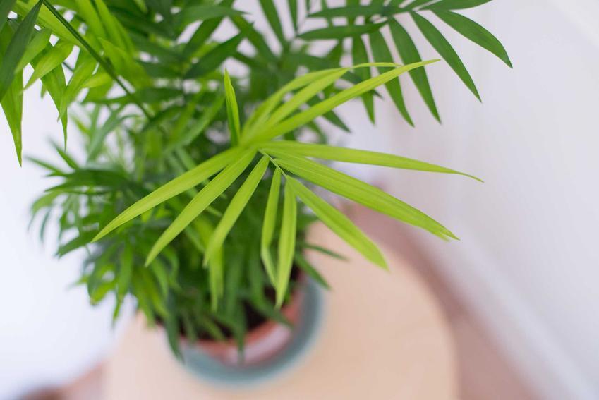 Chamedora wytworna czy też palma koralowa w doniczce oraz jej uprawa i pielęgnacja: podlewanie i nawożenie