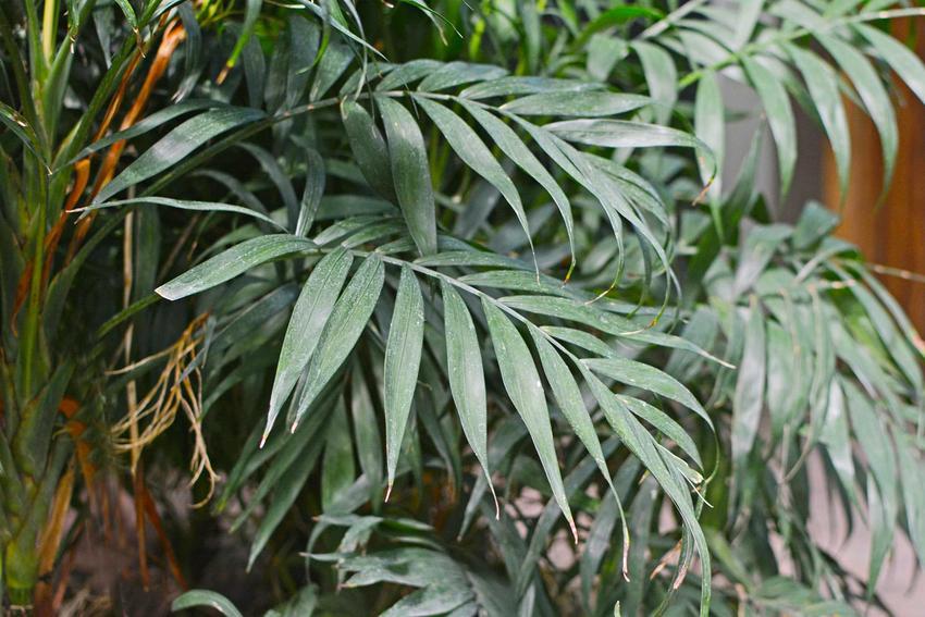 Chamedora wytworna czy też palma koralowa w doniczce oraz jej uprawa i zasady pielęgnacji: podlewanie i przycinanie