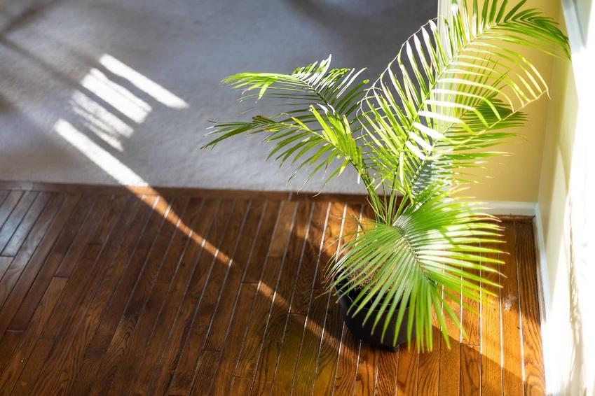Palma areka, czyli areka żółtawa czy kwiat areca jako polecany kwiat doniczkowy do uprawy w domu, a także najpiękniejsze odmiany