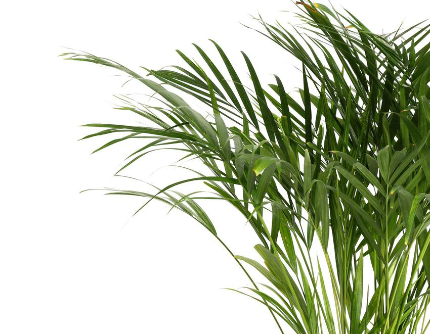 Palma areka, czyli areka żółtawa w doniczce, a także sadzenie, pielęgnacja, uprawa, podlewanie i choroby