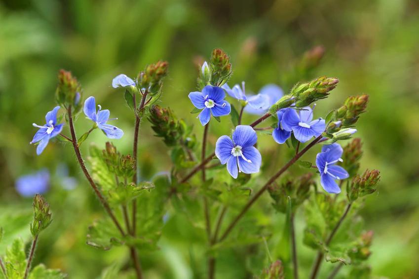 Niebieskie kwiaty przetacznika ożankowego i jego opis, występowanie, uprawa, właściwości lecznicze oraz zwalczanie i zastosowanie przetacznika ożankowego