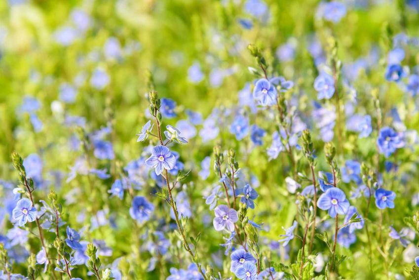 Przetacznik ożankowy - opis, występowanie, uprawa w ogrodach oraz zwalczanie i zastosowanie przetacznika ożankowego