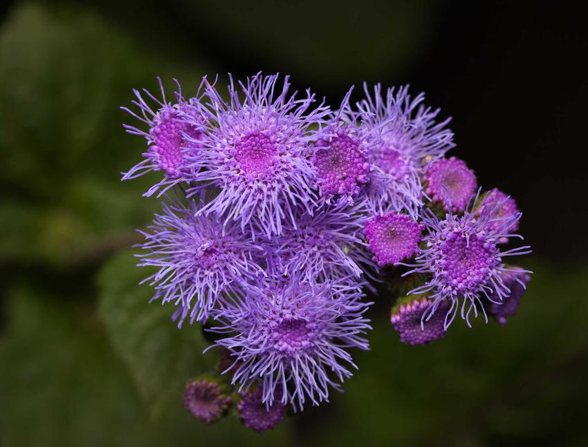 Żeniszek meksykański w czasie kwitnienia oraz zbliżenie na kwiat, czyli żeniszek niebieski i inne odmiany - opis, warunki uprawy, wymagania, pielęgnacja