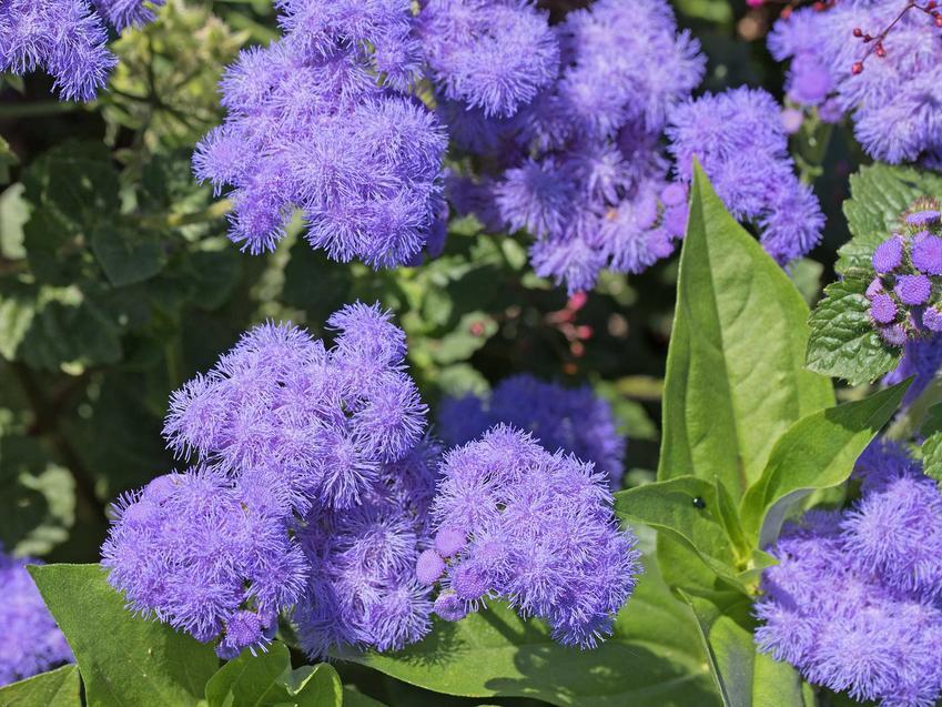 Żeniszek meksykański w czasie kwitnienia czy też żeniszek niebieski - odmiany, opis, warunki uprawywymagania, pielęgnacja - porady