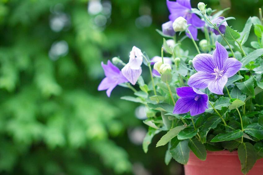 Rozwar wielkokwiatowy w doniczce jako bylina oraz jego uprawa i pielęgnacja w ogrodzie, sadzenie, podlewanie i nawożenie