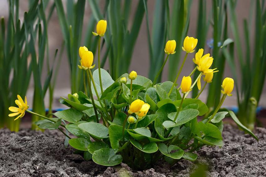 Kaczeńce w ogrodzie w czasie kwitnienia, czyli knieć błotna lub kaczeniec ogrodowy oraz ich pielęgnacja i uprawa