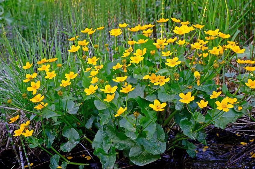 Kaczeńce w ogrodzie w czasie kwitnienia, czyli knieć błotna i jej uprawa, pielęgnacja, sadzenie oraz podlewanie