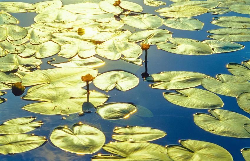 Grążel żółty czy też grążel wodny jako popularna roślina wodna oraz jej występowanie w naturalnym środowisku