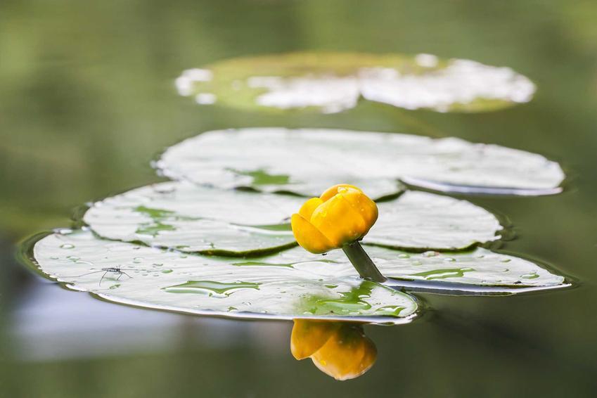 Grążel żółty czy też grążel wodny jako popularna roślina wodna, pielęgnacja w zbiornikach wodnych, sadzenie