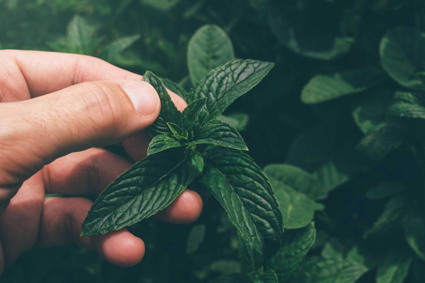 Zielone liście mięty, czyli mięta ogrodowa, a także mięta doniczkowa oraz uprawa mięty, jej odmiany i rodzaje